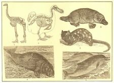 ANIMALS. Elephant-foot Dinornis Dodo Duck bill paradoxure Manatee Dolphin 1907
