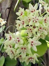 HOYA  AUSTRALIS SMALL ROOTED CUTTING/HOUSE PLANT IN 8-10CM POT