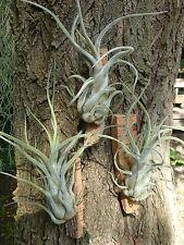 Tillandsia Caput-medusae, Hochlandform, raconter