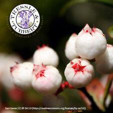 RARE Bixa Orellana Lipstick Tree 25 graines Vendeur Britannique