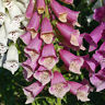 foxglove, excelsior mix flower, SHADE OR SUN,  2000 seeds! GroCo buy US USA*