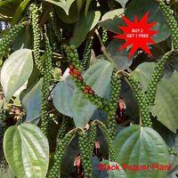 Black Pepper Plant/ Indian Pepper/ Piper nigrum / Live Stem for Growing/ 5 Stems