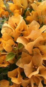 Well Rooted **TOPAZ GOLD** Bougainvillea starter/plug plant**USA SELLER**