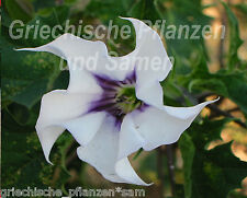 Datura Weiss / LILA 15 SEEDS AROMATIC PLANT Angel's Trumpet Balcony Bucket
