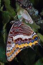 720019 Two tailed Pascha Charaxes Jasius Provence France A4 Photo Print