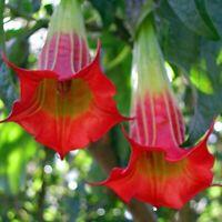20 Seeds Brugmansia Sanguinea Scarlet Angels Trumpet Datura Unique Red Flower