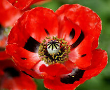 Red Corn Poppy Seeds, Flanders Field Poppies, Non-Gmo Heirloom Bulk Seeds, 500ct