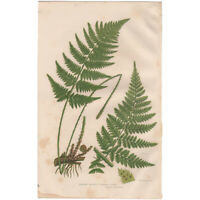 Anne Pratt Ferns antique 1860 botanical print Pl 286 Narrow Prickly Toothed Fern