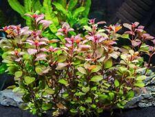 50 Ludwigia plants (freshwater, aquatic)