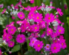 Primula Royalty Pink Seed Long Winter Flowering Perennial 30cm High
