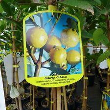 Guavenbaum gelbe Guave gialla selbstbefruchtend Psidium guajava ca. 160 - 180 cm