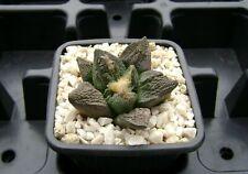 Ariocarpus fissuratus ! Own Roots ! Rare Cactus 01203