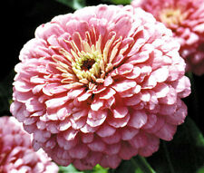 ZINNIA LUMINOSA PINK Zinnia Elegans - 1,100 Bulk Seeds