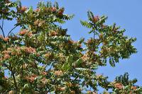 ** Götterbaum wird in Indien als heiliger Baum verehrt - exotische Samen Saatgut