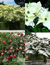 RARE CORNUS KOUSA @j@ chinese dogwood tree white flowers red fruit seed 50 SEEDS