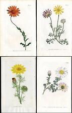 1810 Curtis Botanical Magazine Adonis, Pyrethrum Daisy etc, 4 Antique Prints