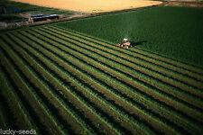 Alfalfa Seed Common - (Medicago sativa) 50 Lbs.
