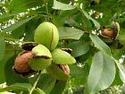 English Walnut Juglans regia 5 seeds