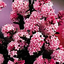 3L Pot Viburnum Bodnantense Dawn Fragrant Winter Shrub Plant