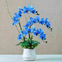50 Blue Butterfly Orchid Seeds Fragrant Home Garden Easy Grow Flowers Big Bloom