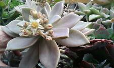 RARE HOUSEPLANT Graptopetalum paraguayense subsp bernalense Kimnach & R.C.Moran