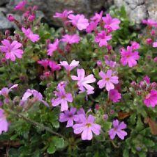 25+ ERINUS ALPINUS FLOWER SEEDS, ALPINE BALSAM, HARDY, COOL WEATHER PERENNIAL