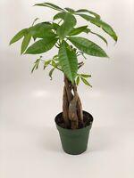 """Money Tree Live Plant - Pachira aquatica- 6"""" Pot"""
