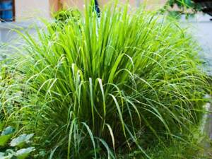 3x Lemongrass Plug Plants Vegetables Garden - Preorder