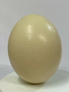 Giant Real Ostrich Egg Decoration