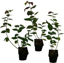 4 x Heidelbeeren Pflanzen SET -> Blaubeeren Ernte von Juli bis Oktober!
