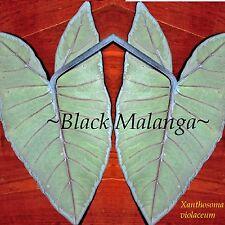 ~Black Malanga~ Xanthosoma violaceum Blue 'Ape Edible Taro Ornamental Sml Plant