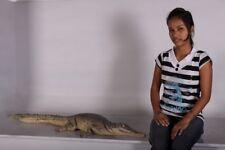 Crocodile Resting 4ft. replica