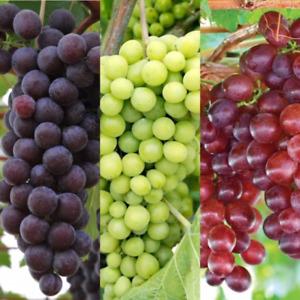 3 x Vitis Grape Mix - Garden Grape Fruit Vine Grow Your Own Grapevine