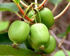 """KIWI - ACTINIDIA ARGUTA - ISSAI - EDIBLES - 1 PLANT - 3"""" POTS - SELF POLLINATING"""