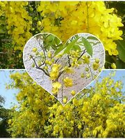 Cassia fistula Golden Shower Tree!Also ideal for Bonsai! seeds!, lots of flowers