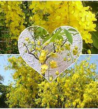 Cassia Fistule Golden Shower tree! Aussi idéal pour bonsai! Graines!, beaucoup de fleurs
