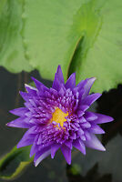Fertilizer For All Kind of Lotus & Water Lily Tablets  natural  for lotus 60 g.