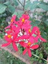 Red Crucifix/Epidendrum Orchid