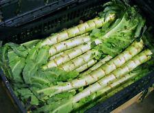 Stangensalat Spargelsalat Samen Gemüsesamen