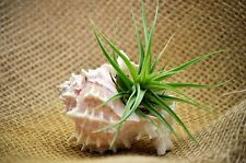 Air Plant - 3' Pink Murex Shell Kit Easy to Care House Plants Decor Gift