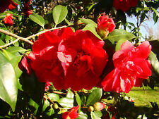 2x evergreen flowering shrub Japanese Camellia, Rose of Winter CAMELLIA JAPONICA
