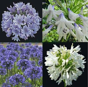 Agapanthus praecox Blue/White/Blue&White Agapant African Lily of the Nile, Seeds