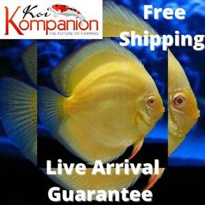 "1/2/3X Albino Golden Discus Fish 2-3"" Aquarium Koi Kompanion Free 1 Day Shipping"