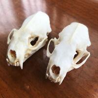 2pcs Real mink skulls, fine animal specimens, skull gifts skulls