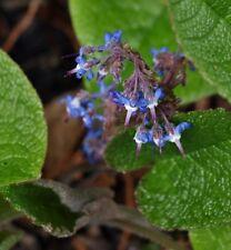 Plante Couvre-sol Alimentaire Rhizome Trachystemon Orientalis Bourrache Caucase