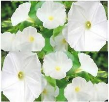 Morning Glory- (Ipomoea Tricolo) - Pearly Gates - 50 seeds