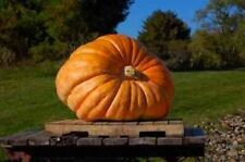 5 DILL'S ATLANTIC GIANT PUMPKIN SEEDS -  WORLD RECORD HOLDER - OVER 2000 POUNDS