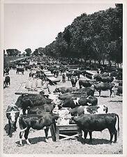 ARIZONA c. 1950 - Alimentation du Bétail Ferme d'Élevage  USA - GF 96