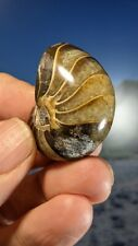 More details for nautilus fossil madagascar jurassic whole fossil superb 38mm x 29mm x 26mm
