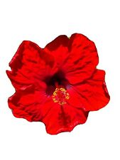EXOTIC HOOCHIE COOCHIE HIBISCUS~DARK RED STARTER LIVE PLANT 5 INCHES TALL